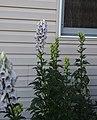 Aconitum carmichaelii 'Cloudy'.jpg