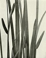 Acorus americanus WFNY-f003.jpg