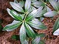 Acradenia frankliniae Hobart gardens.JPG