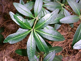 Acradenia frankliniae - Image: Acradenia frankliniae Hobart gardens