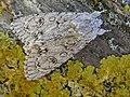 Acronicta aceris FvL.jpg