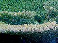 Acropora parapharaonis, coralitos.jpg