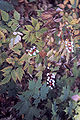 Actaea pachypoda WPC.jpg