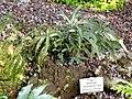 Adiantum hispidulum - Botanischer Garten München-Nymphenburg - DSC08047.JPG