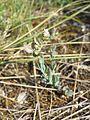 Aethionema saxatile sl2.jpg