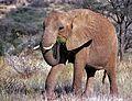 African Elephant (Loxodonta africana) (7662345326).jpg
