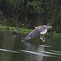 African fish eagle - immature - catches a fish (38184854171).jpg