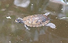 African forest turtle.jpg