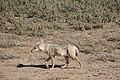 African golden wolf (16431530509).jpg