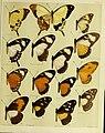 African mimetic butterflies (19575386592).jpg