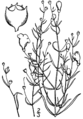 Agalinis setacea drawing.png