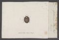 Agathidium - Print - Iconographia Zoologica - Special Collections University of Amsterdam - UBAINV0274 016 02 0152.tif