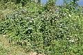 Ageratum houstonianum habit1 (11509031366).jpg