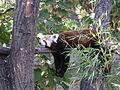 Ailurus fulgens red panda.jpg