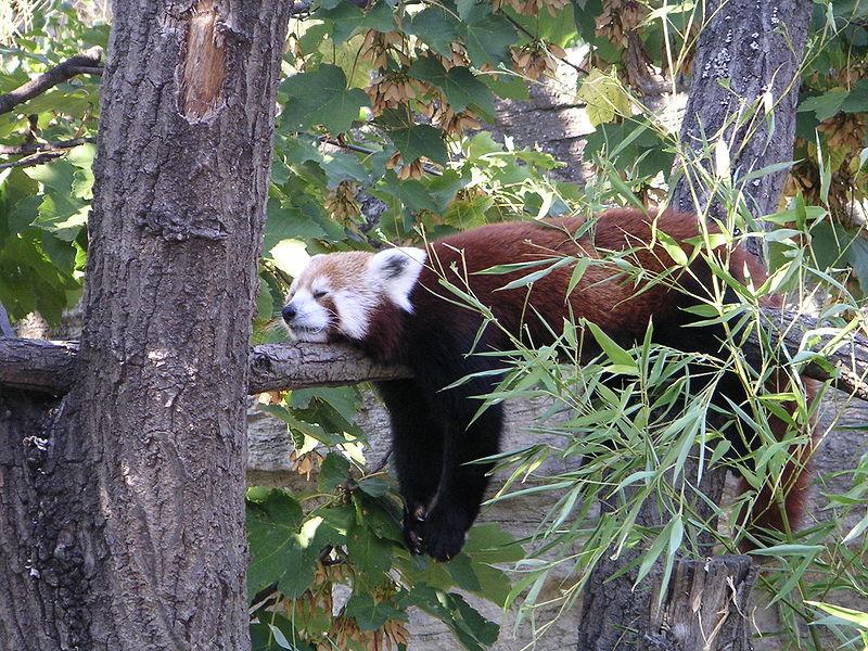 File:Ailurus fulgens red panda.jpg