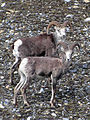 Alaska Highway Wildlife.jpg