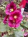 Alcea Rosea Hollyhocks flower plant - Closer look.jpg