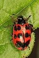 Alder Leaf Beetle - Chrysomela interrupta, Leesylvania State Park, Woodbridge, Virginia.jpg
