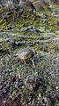 Alectoris rufa of Madeira (26995488668).jpg