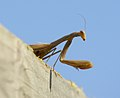 Alien - mantis religiosa en su mirador 05 - European Praying mantis (260007961).jpg