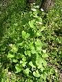 Alliaria petiolata (2).jpg