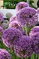 Allium 'Pinball Wizard' 1.jpg