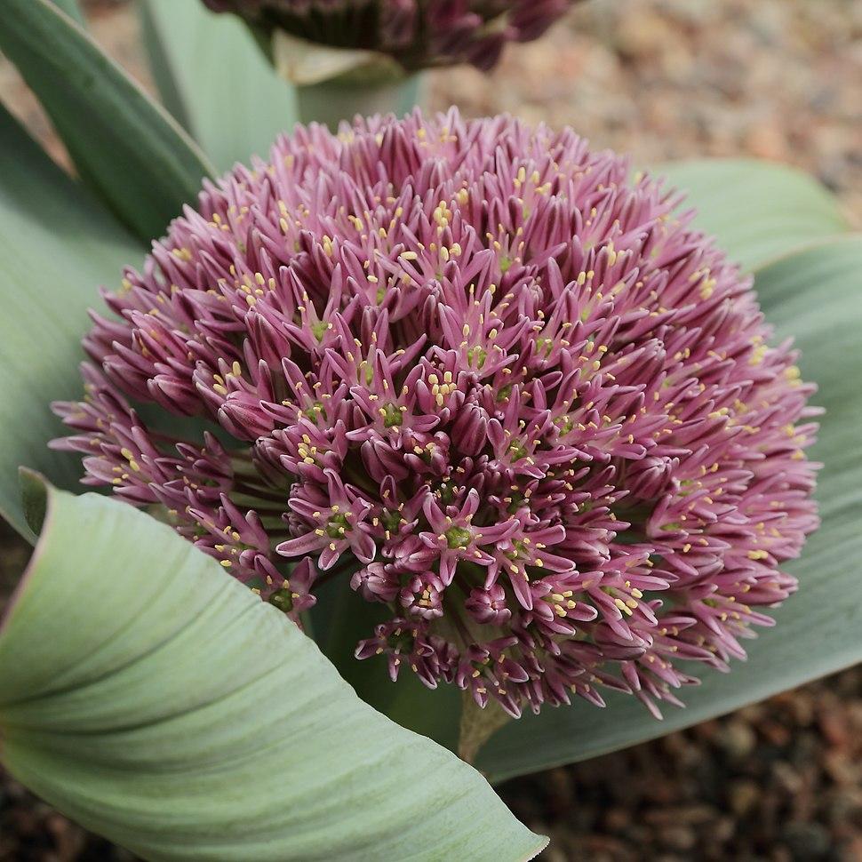 Allium akaka-IMG 2180