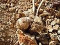 Allium anceps (22890834323).jpg