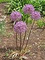 Allium giganteum HRM1.JPG