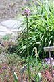 Allium stipitatum Regel (Amaryllidaceae)-1F.JPG