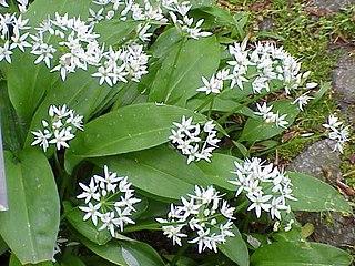 <i>Allium ursinum</i> species of plant