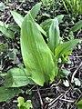 Allium ursinum 122962073.jpg