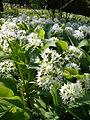 Allium ursinum 2 BOGA.jpg
