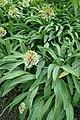 Allium victorialis kz04.jpg