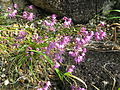 Allium virgunculae var kiiense1.jpg