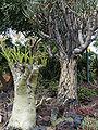 Aloe Dichotoma & Cyphostemma Juttae, Huntington.jpg