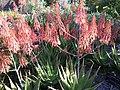 Aloe andongensis, Mt Coottha Botanical Gardens, Brisbane, Australia - panoramio (1).jpg