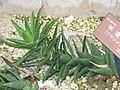 Aloe perfoliata hybrid - nobilis.jpg