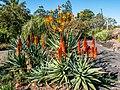Aloe spp in Arid Zone garden Brisbane Botanic Gardens Mt Coot-tha L1020690.jpg