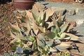 Aloe striata - Leaning Pine Arboretum - DSC05663.JPG
