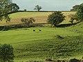 Alpacas at Talkin Head Farm - geograph.org.uk - 571047.jpg