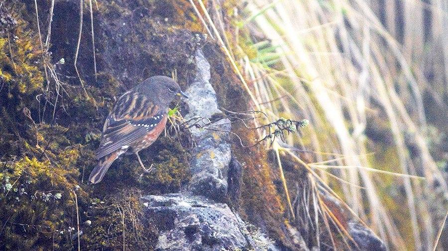 Alpine Accentor Pangolakha Wildlife Sanctuary East Sikkim India 19.04.2016