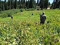 Alpine Wet Meadow Data (8795049766).jpg
