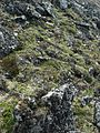 Alpine heath - Flickr - pellaea.jpg