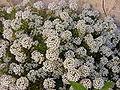 Alyssum (Lobularia maritima).jpg
