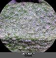 Alyssum montanum subsp. gmelinii sl7.jpg