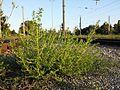Amaranthus albus sl17.jpg