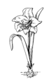 Amaryllis 2 (PSF).png