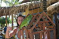 Amazona barbadensis -pet on climbing frame-4.jpg
