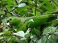 Amazona mercenaria (Lora andina) (14037300114).jpg